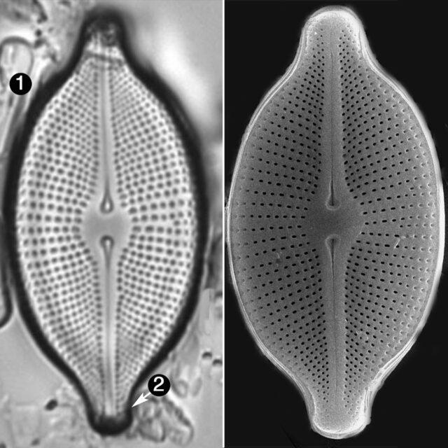 Cosmioneis Citriformis Guide