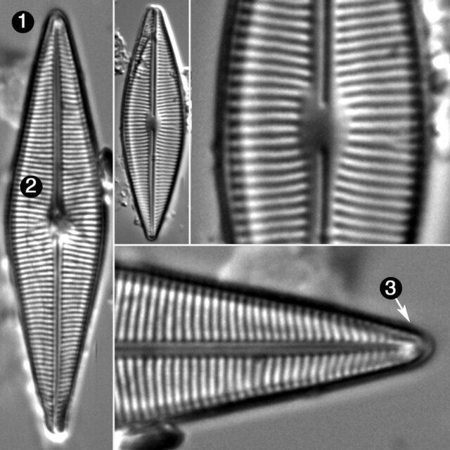 Craticula Halophila Sensu  Llb Guide