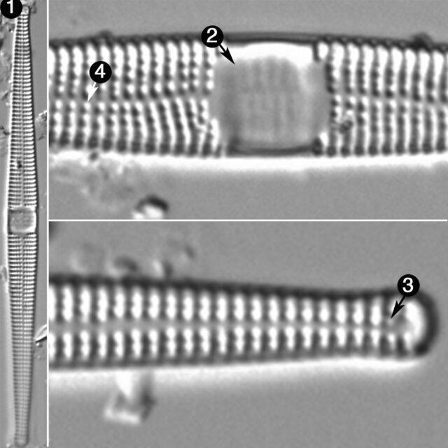 Ctenophora Pulchella Guide
