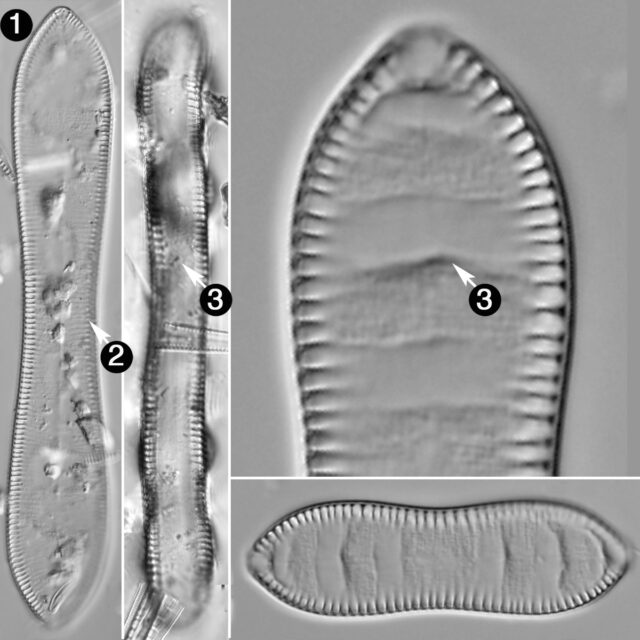 Cymatopleura Solea Guide