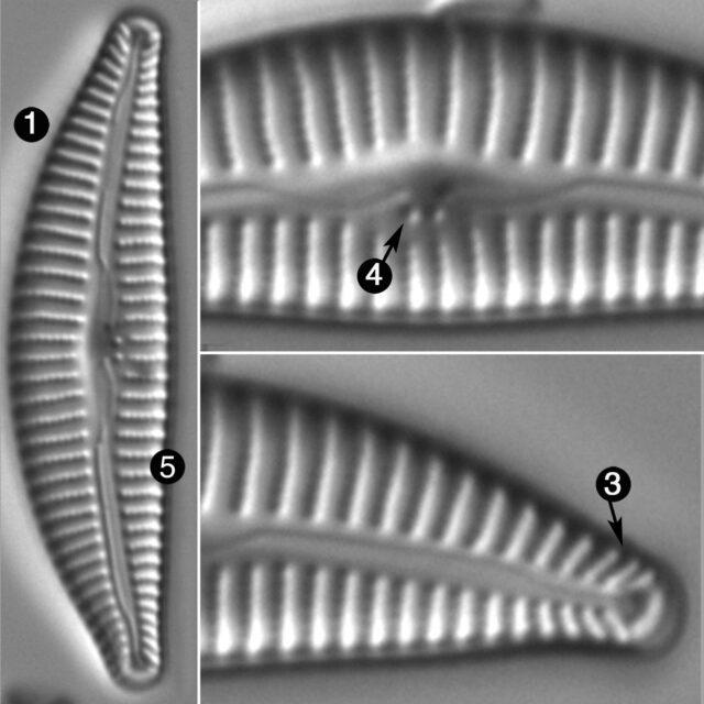 Cymbella Affiniformis Guide