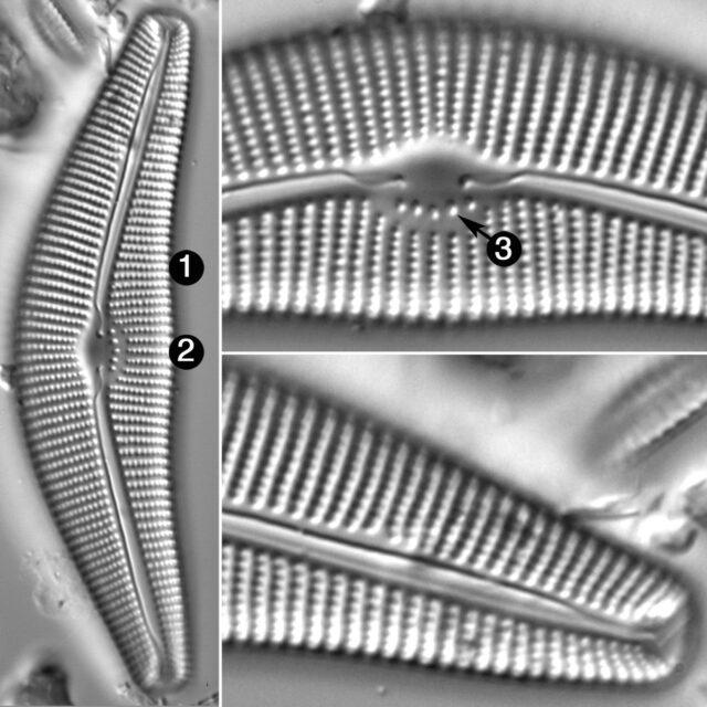 Cymbella Cistula Gibbosa Guide