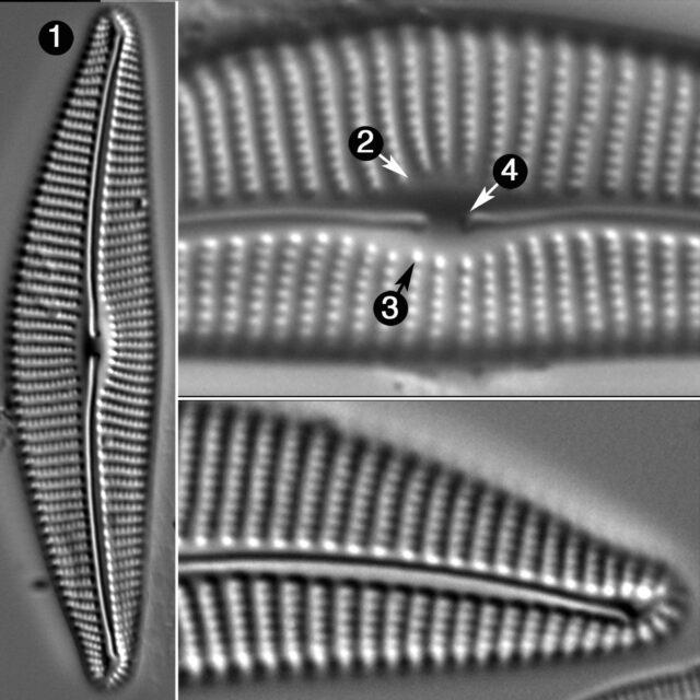 Cymbella Compacta Guide