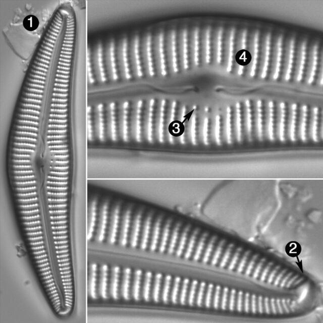 Cymbella Cymbiformis Guide