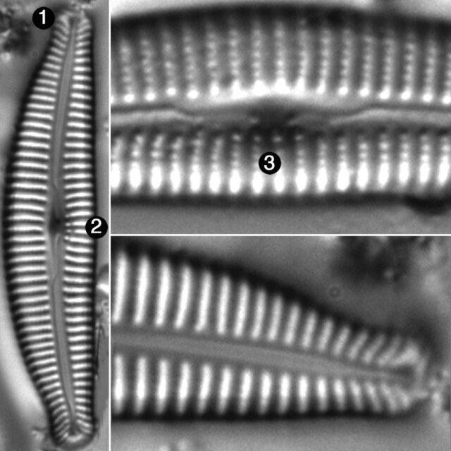 Cymbella Rumrichae Guide