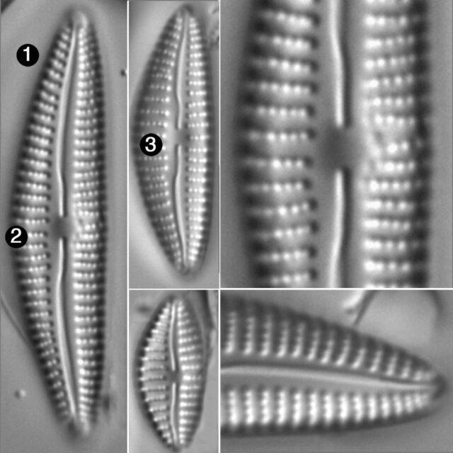 Cymbella Subleptoceros Guide