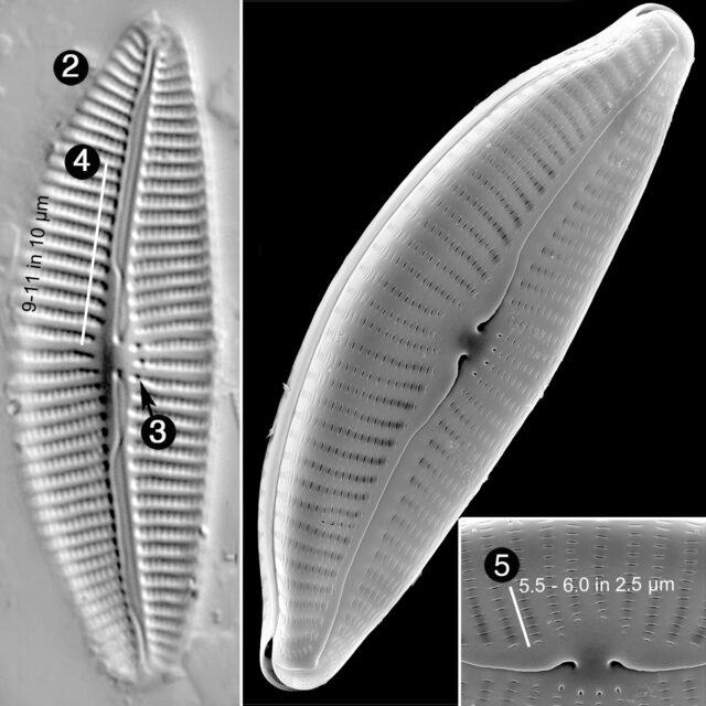 Cymbella Turdigula Guide