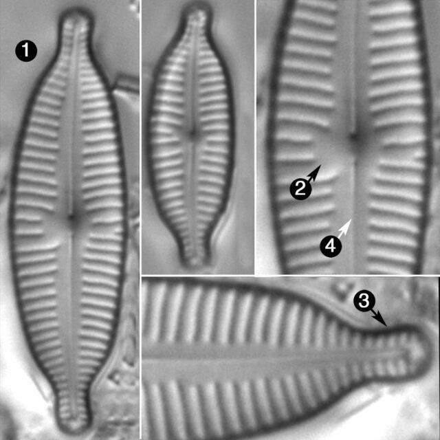 Cymbopleura Amphicephala2 Guide