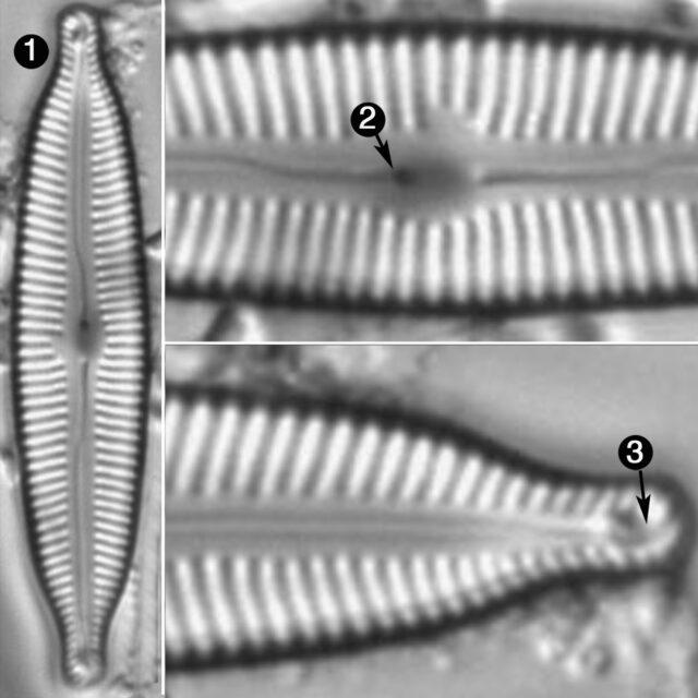 Cymbopleura Angustata Guide