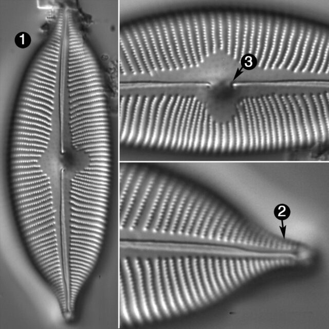 Cymbopleura Apiculata Guide