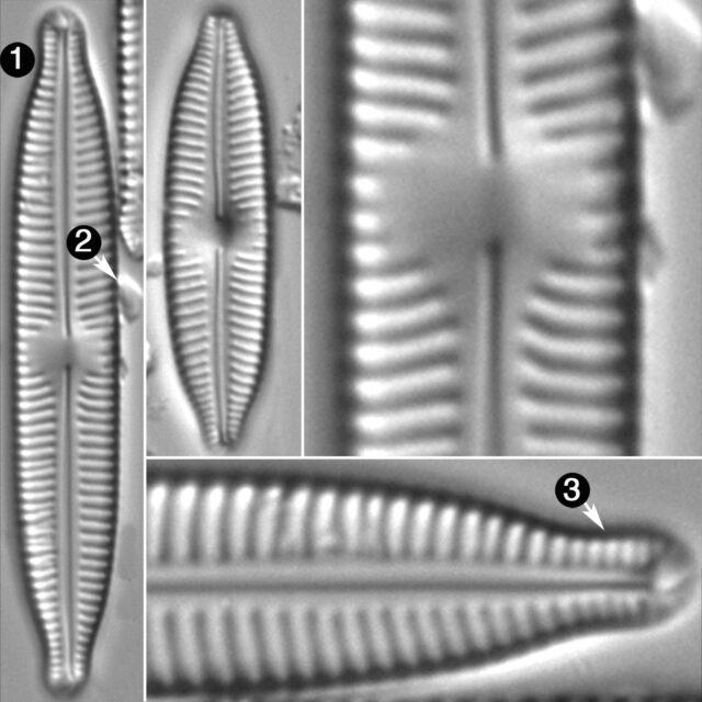 Cymbopleura Hybrida2 Guide