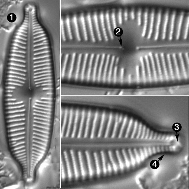 Cymbopleura Hybrida Guide