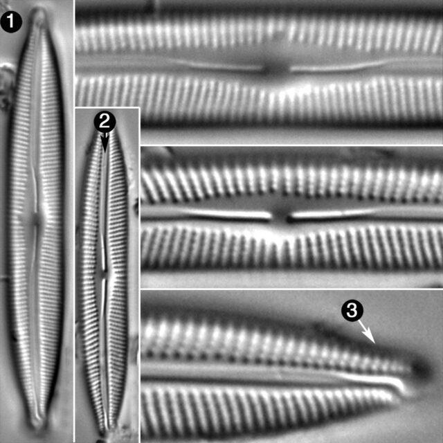 Cymbopleura Incertiformis Linearis Guide