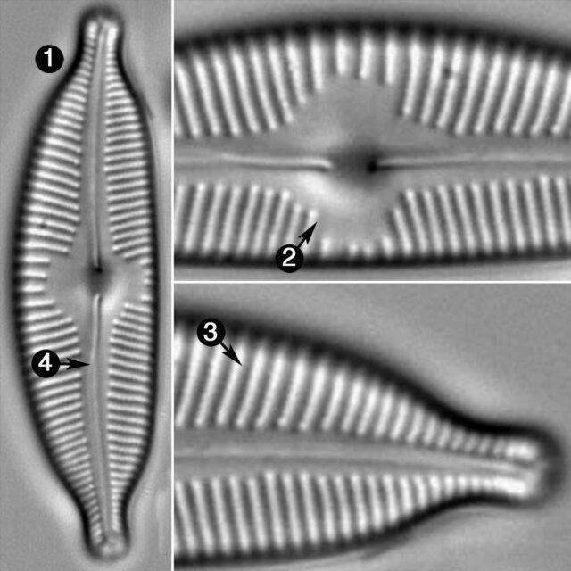 Cymbopleura Naviculiformis Guide