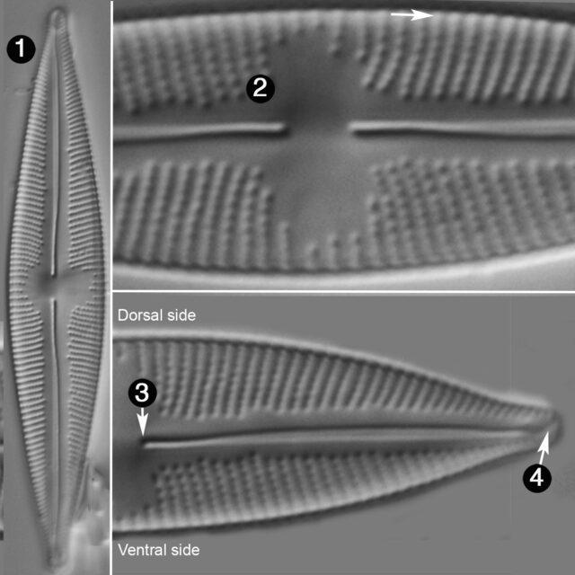 Cymbopleura stauroneiformis rev guide