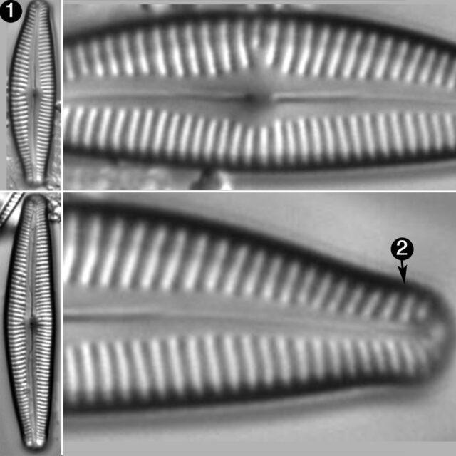 Cymbopleura Subaequalis Guide