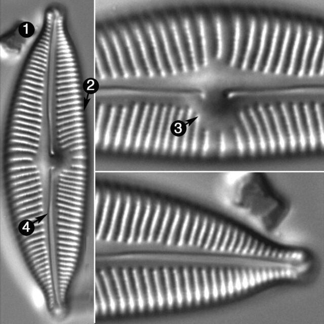 Cymbopleura Sublanceolata2 Guide