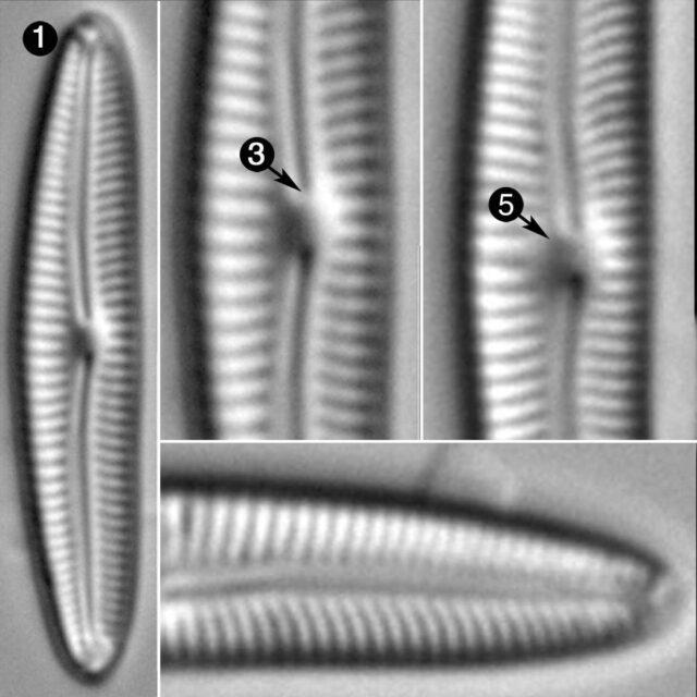 Cymbopleura Tundraphila Guide