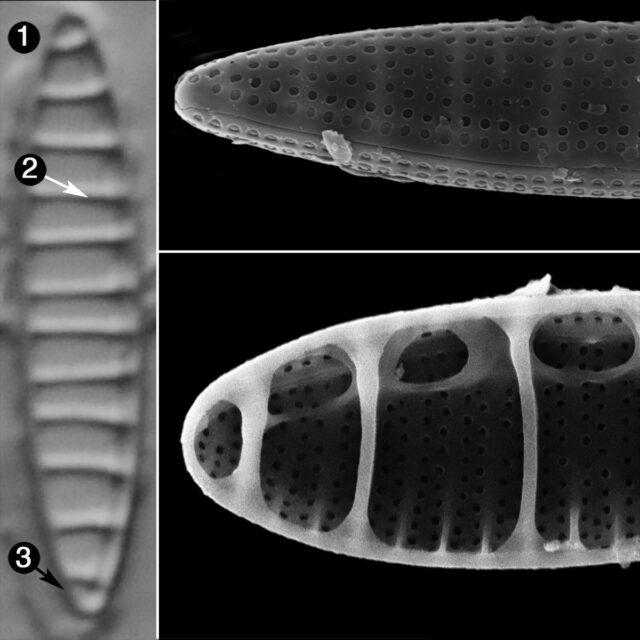 Denticula Subtilis Guide