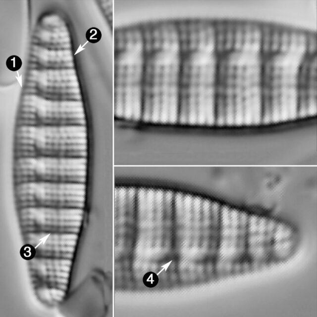Denticula Tenuis Guide