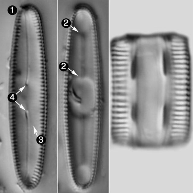 Diatomella Balfouriana Guide