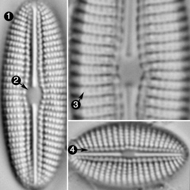 Diploneis calcicolafrequens guide2