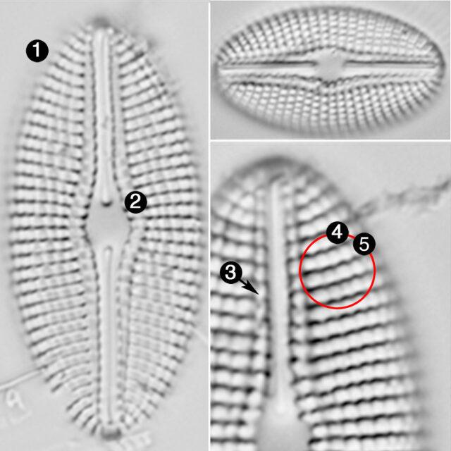 Diploneis Calcilacustris Guide