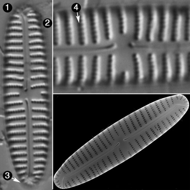 Encyonema Applachianum Guide