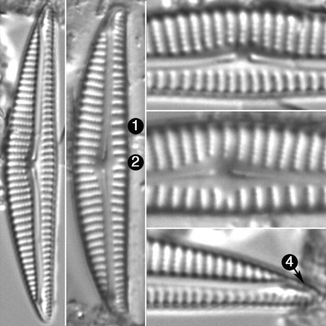 Encyonema Neogracile Guide