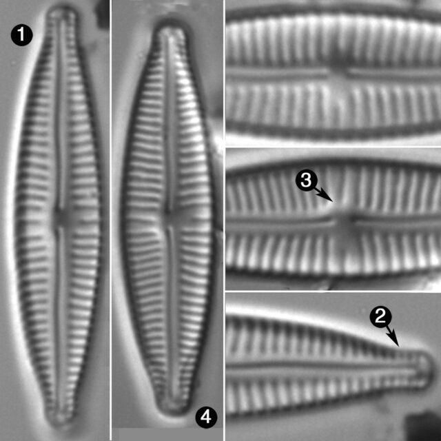 Encyonopsis Aequalis Guide