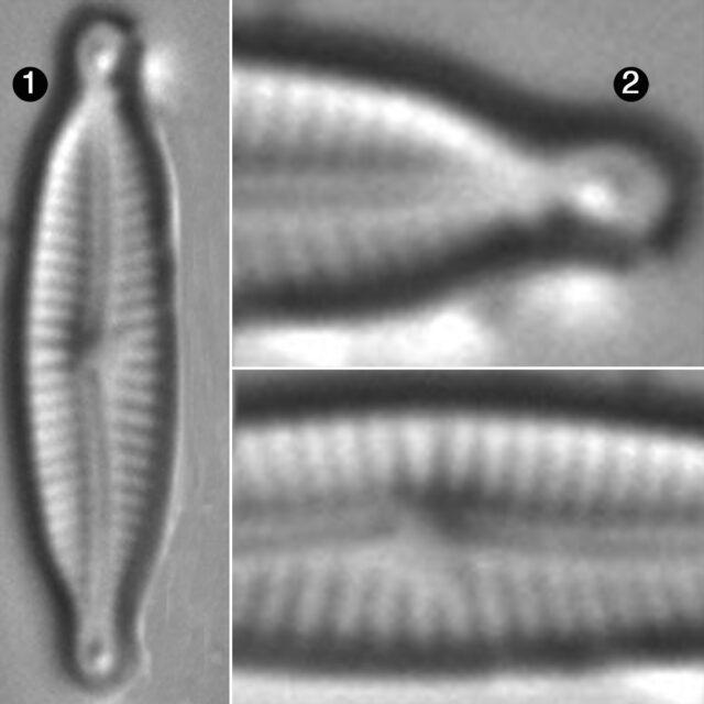 Encyonopsis Alpina Guide