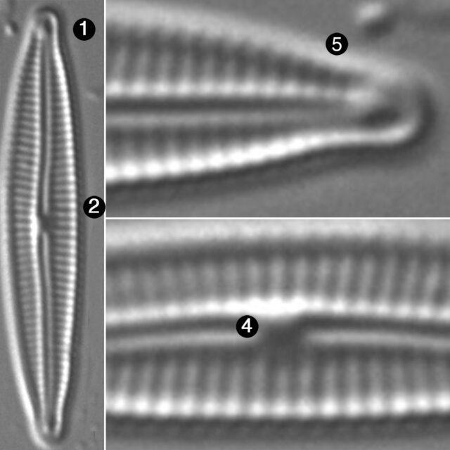 Encyonopsis Anacondae Guide