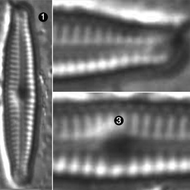 Encyonopsis Bobmarshallensis Guide