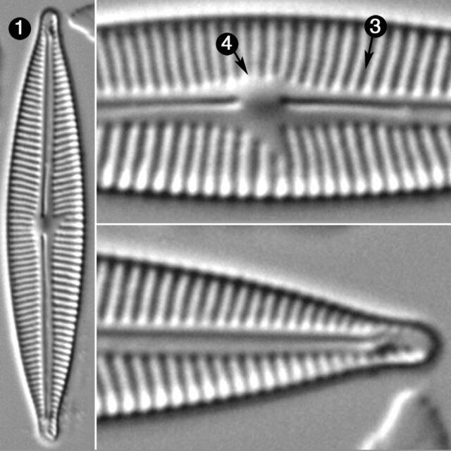 Encyonopsis Cesatiformis Guide