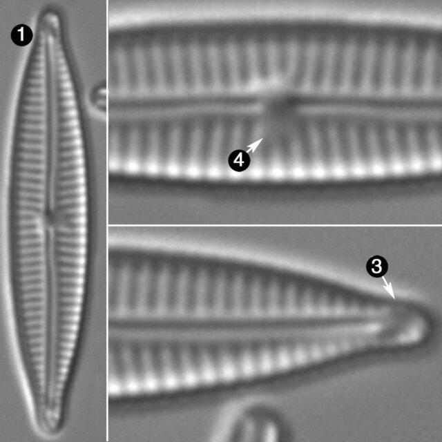 Encyonopsis Cesatii Guide