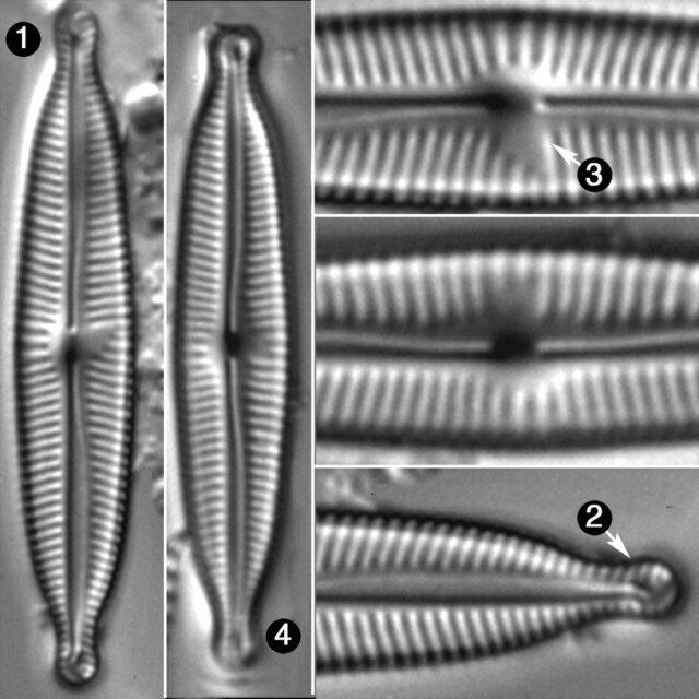 Encyonopsis Dakotae Guide