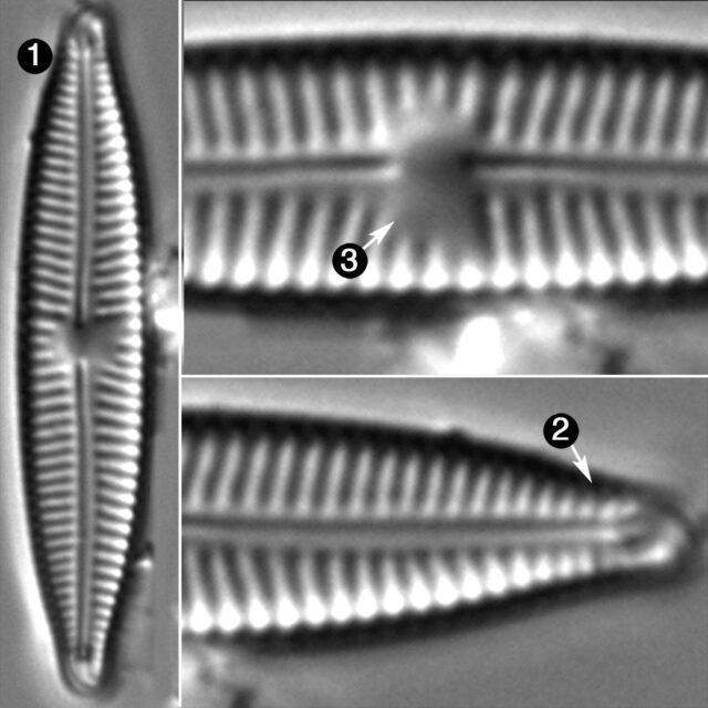 Encyonopsis Falaisensis Guide