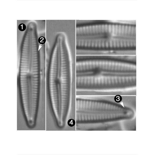 Encyonopsis Krammeri Guide