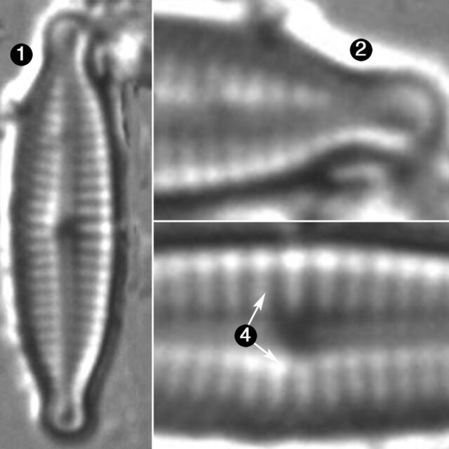 Encyonopsis Lacusalpini Guide