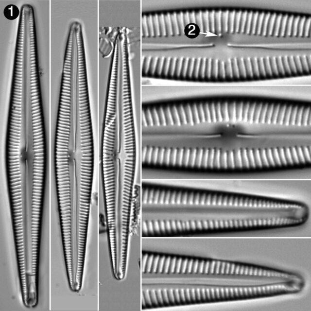 Encyonopsis Lacusglacialis Guide