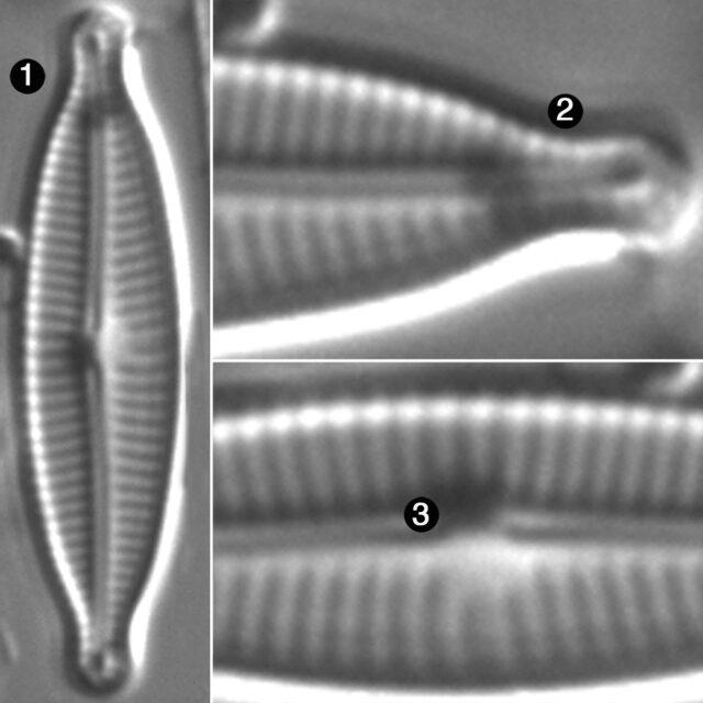 Encyonopsis Medicinalis Guide
