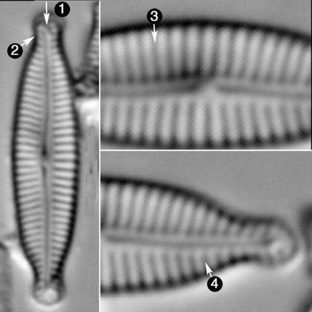 Encyonopsis Microcephala Guide