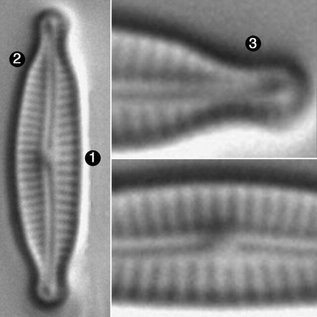 Encyonopsis Minuta Guide