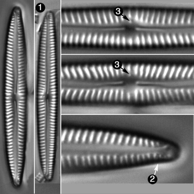 Encyonopsis Neoamphioxys Guide