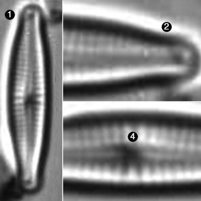 Encyonopsis Perborealis Guide