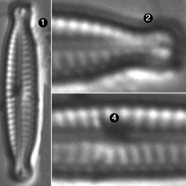Encyonopsis Robusta Guide