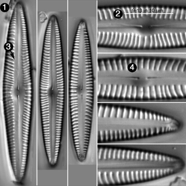 Encyonopsis Stodderi Guide