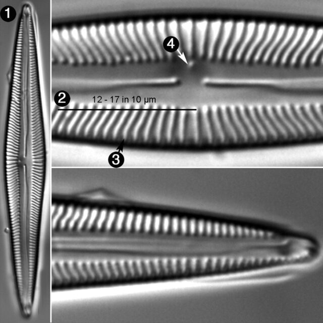 Encyonopsis Treinischii Guide