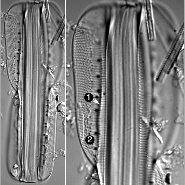Entomoneis Alata Guide