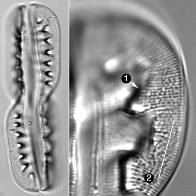 Entomoneis Ornata Guide